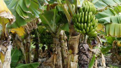 Photo of รู้ประโยชน์ของรากกล้วยในภาษาฮินดี |  ประโยชน์ทั้ง 5 ประการนี้จะได้รับจากการบริโภคหัวปลีคุณจะหายจากโรคเหล่านี้