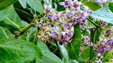 Photo of ดอกอะคมีประโยชน์มากสำหรับอาการปวดหูและไมเกรน |  ใบหน้าเหี่ยวย่นหรือไมเกรนก็ใช้ได้ผลกับดอกไม้ทั้งหมดนี้