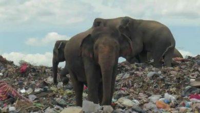 Photo of รัฐบาลศรีลังกาขุดคูน้ำรอบหลุมฝังกลบเพื่อลดความขัดแย้งระหว่างสัตว์และชาวบ้าน |  ศรีลังกา: ขุดคูน้ำเพื่อป้องกันการทะเลาะวิวาทระหว่างช้างและมนุษย์ที่หิวโหย