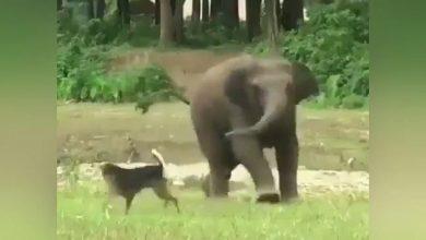 Photo of วิดีโอลูกช้างเล่นกับสุนัขกลายเป็นไวรัส |  ลูกช้างและสุนัขแสนน่ารักตัวนี้กำลังได้รับเชื้อไวรัสโปรดดูวิดีโอ