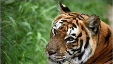 Photo of ผู้เชี่ยวชาญทั่วโลกกังวลหลังพบ Tiger ที่ความสูง 3,000 ม. เหนือระดับน้ำทะเลในเนปาล |  ผู้เชี่ยวชาญจากทั่วโลกกังวลเกี่ยวกับการกระทำของไทเกอร์ชี้ให้เห็นถึงการเปลี่ยนแปลงครั้งใหญ่ในธรรมชาตินี้