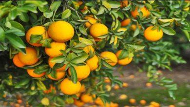 Photo of รู้ประโยชน์ต่อสุขภาพที่น่าอัศจรรย์การกินส้มป่อย