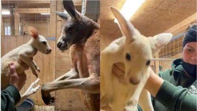 Photo of จิงโจ้ขาวหายากเกิดใน Animal Adventure Park โจอี้เกิดมาเพื่อจิงโจ้แดงชื่อโรซี่ |  จิงโจ้หายากเช่นนี้เกิดมาเป็นครั้งแรกสีจะยังคงตะลึง