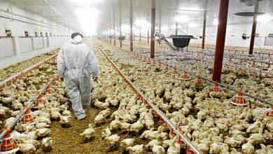 Photo of อิสราเอลเริ่มเทคนิคใหม่เปลี่ยนเพศไก่ก่อนฟัก |  ก่อนที่ไข่จะฟักออกมาไก่จะกลายเป็นไก่รู้เทคนิคพิเศษนี้คืออะไร
