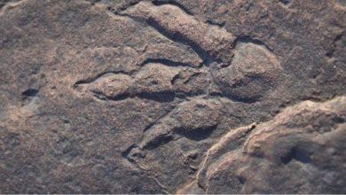 Photo of เด็กหญิงวัย 4 ขวบพบรอยเท้าไดโนเสาร์บนชายหาดเวลส์ |  งานพิเศษปี 2021!  เด็กหญิงวัย 4 ขวบค้นพบรอยเท้าไดโนเสาร์อายุ 22 ล้านปียังปลอดภัย