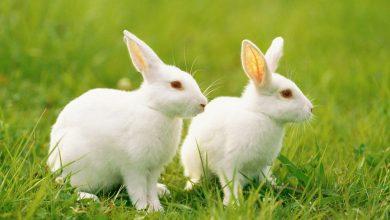 Photo of กระโถนกระต่ายรู้ไหมทำไมกระต่ายมังสวิรัติถึงกินกระโถนของตัวเอง |  กระต่าย: สัตว์ชนิดนี้กินไม่เต็มเต็งเพื่อความสวยงามรู้สิ่งที่น่าสนใจเกี่ยวกับมัน