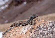 Photo of สัตว์เลื้อยคลานแปลก Liolaemus Tacnae รู้ทุกอย่างเกี่ยวกับจิ้งจกภูเขา Liolaemus Tacnae ในภาษาฮินดี |  สัตว์เลื้อยคลานแปลก Liolaemus Tacnae: จิ้งจกตัวนี้ทำลายสถิติโลกสัตว์เลื้อยคลานอาศัยอยู่ที่ระดับความสูง 17,716 ฟุต