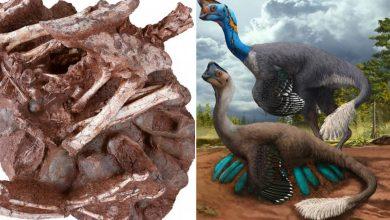 Photo of ข่าววิทยาศาสตร์ไดโนเสาร์นั่งบนรังไข่กับทารกข่าวแปลก |  ไดโนเสาร์: ไดโนเสาร์ที่พบในรังที่เต็มไปด้วยไข่โดยมีเด็ก ๆ อยู่ข้างในด้วย  นักวิทยาศาสตร์ตกใจ