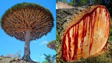 Photo of ข้อเท็จจริงและประโยชน์ของต้นเลือดมังกรตกอยู่ในอันตรายเนื่องจากข่าววิทยาศาสตร์การเปลี่ยนแปลงสภาพอากาศ |  Dragon Blood Tree: จากยาเป็นสัญลักษณ์ของ 'Dragon Blood Tree' ของ Dua Yemen ที่มีอยู่ผู้เชี่ยวชาญกังวล