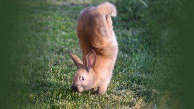 Photo of Alfort Rabbits เดินด้วยกรงเล็บแทนเท้านักวิทยาศาสตร์บอกเหตุผลเบื้องหลังข่าววิทยาศาสตร์นี้ |  Alfort Rabbits: กระต่ายเหล่านี้ไม่เดินด้วยเท้ากระโดดด้วยมือ  นักวิทยาศาสตร์ไขปริศนา 80 ปี