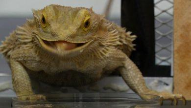 Photo of ยีนเปลี่ยนไปใน Bearded Dragon Lizard เมื่อความร้อนกระตุ้น Science News ล่าสุด |  Bearded Dragon: การเปลี่ยนแปลงอุณหภูมิเพศของสิ่งมีชีวิตนี้เปลี่ยนแปลงรู้ได้อย่างไร