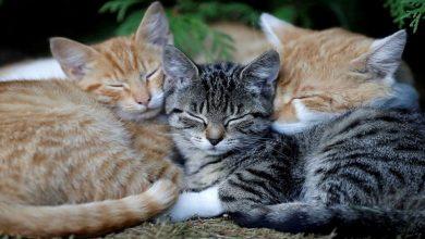 Photo of นักวิทยาศาสตร์พบหลักฐานการแพร่เชื้อโควิด -19 จากมนุษย์สู่แมวข่าวล่าสุด |  Covid-19: การแพร่กระจายของไวรัสโคโรนาจากมนุษย์สู่แมวการศึกษาเปิดเผย
