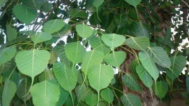 Photo of Pipal Leaf ช่วยในการเพิ่มระดับออกซิเจนรู้ประโยชน์ของ Pipal Leaf SPUP |  ใบปี๊บมีประโยชน์ต่อปอดรู้ประโยชน์อัศจรรย์