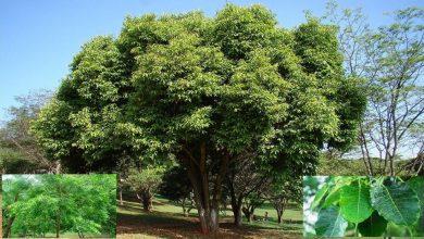 Photo of ต้นไม้ impt เหล่านี้ที่สร้างออกซิเจนส่วนใหญ่ต้นไทร peepal ashok jamaun neem ผลิตออกซิเจนมากที่สุดในสิ่งแวดล้อม pcup |  ต้นไม้เหล่านี้ผลิตออกซิเจนได้มากกว่าหลายล้านถังแม้แต่โรงงานใหญ่ ๆ ก็ล้มเหลวต่อหน้าพวกเขา