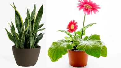 Photo of สี่พืชที่ดีที่สุดในการเพิ่มระดับออกซิเจนรู้ที่นี่พืชสร้างออกซิเจน Money Plant Spider Plant brmp |  ใส่ต้นไม้นี้ไว้ในบ้านโดยปลูกในหม้อระดับออกซิเจนจะเพิ่มขึ้นอย่างรวดเร็วในช่วงโคโรนาประโยชน์เหล่านี้จะมีอยู่