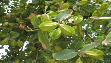 Photo of ประโยชน์ของต้นไม้ Terminalia arjuna ในร่างกายมนุษย์ ปัญหาหัวใจ โรคอ้วน โรคหลอดเลือดหัวใจตีบ ปวด ข่าวสุขภาพ ngmp |  หากคุณดื่มยาต้มที่บ้านนี้ หัวใจจะแข็งแรง!  ถือว่ายาครอบจักรวาลในอายุรเวท