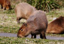 Photo of หนูที่ใหญ่ที่สุดในโลก Capybaras โจมตีภายใน Nordelta Argentina |  หนูที่ใหญ่ที่สุดในโลก 'แก้แค้น' กับมนุษย์ทำลายเมืองนี้